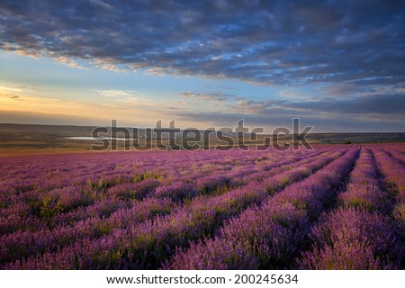 Lavender field under blue sky with clouds - stock photo