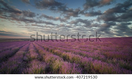 Lavender field under blue sky with clouds