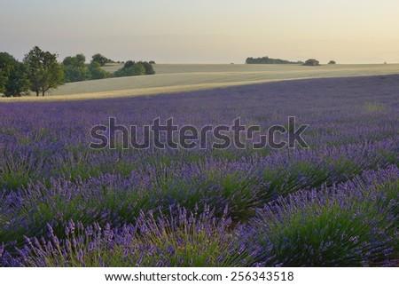 lavender field, Valensole - Provence, France - stock photo