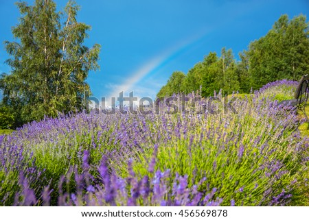 Lavender field with a rainbow.