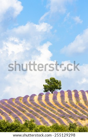lavender field with a tree, Provence, France - stock photo