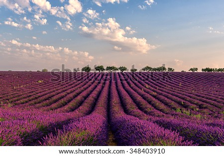 Lavender field with beautiful lilac rows of lavender in the gentle pink light of morning. Plateau de Valensole, Provence, France - stock photo