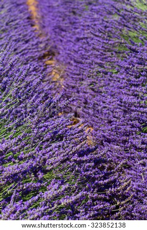 Lavender field with bloomig flowers close up, France - stock photo