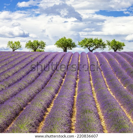 Lavender field with cloudy sky, France, Europe