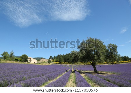 Lavender field with one tree on background of blue sky at noot in Provence France in town Aurel