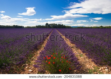 Lavender Field with Poppies