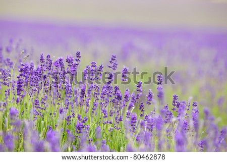 Lavender field with shallow DOF