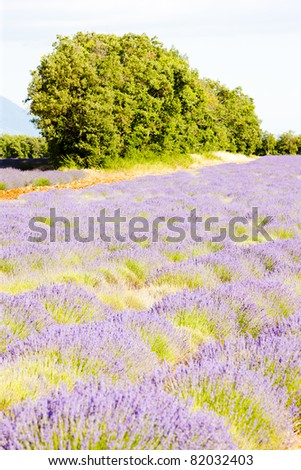lavender field with trees, Provence, France - stock photo