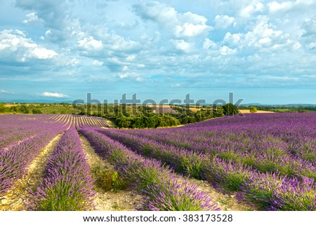 Lavender fields in Valensole plateau in Provence, France