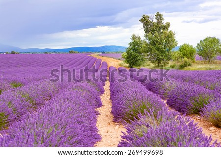 Lavender fields near Valensole in Provence, France. Rows of purple flowers. Famous, popular destination and place for tourists for making vacations in summer. On rainy day with rain. - stock photo