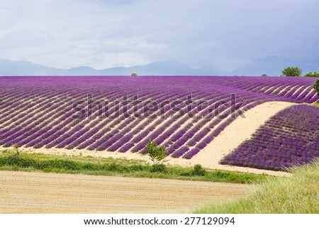 Lavender fields near Valensole in Provence, France. Rows of purple flowers. Famous, popular destination and place for tourists for making vacations in summer. On rainy day - stock photo