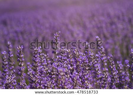 lavender filed