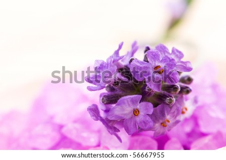 lavender flower and bath salt. spa and wellness - stock photo