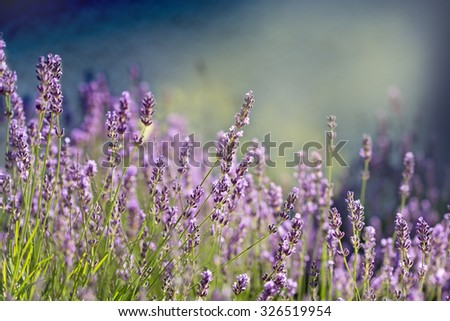 Lavender flower - Beautiful lavender flower lit by sunlight - stock photo