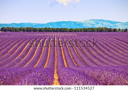 Lavender flower blooming fields in endless rows and trees on background. Landscape in Valensole plateau, Provence, France, Europe.