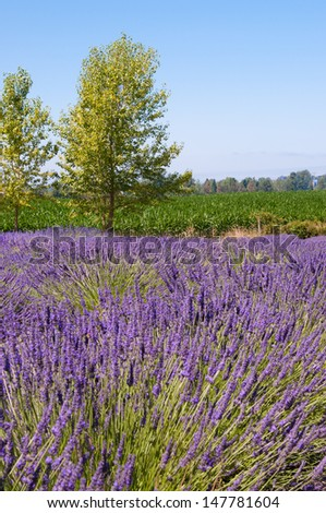 Lavender flower blooming scented field with tree , Sequim,WA