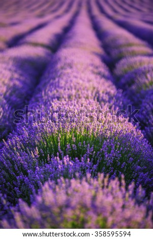 Lavender flower blooming scented fields in endless rows. - stock photo