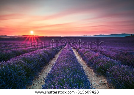 Lavender flower blooming scented fields in endless rows on sunset. Valensole plateau, Provence, France, Europe. - stock photo