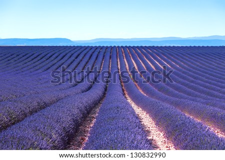 Lavender flower blooming scented fields in endless rows. Valensole plateau, provence, france, europe. - stock photo