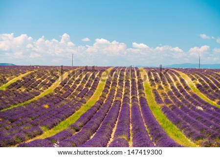 Lavender flower blooming scented fields in endless rows. Valensole plateau, provence - France