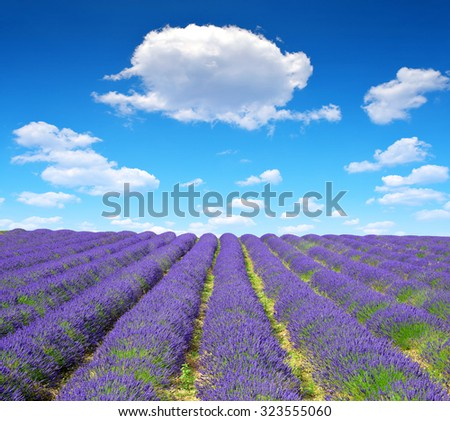 Lavender flower blooming scented fields in Provence - France, Europe.