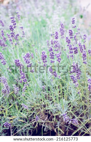 Lavender flower bush in the summer, shallow DOF