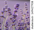 Lavender flower close up - stock photo