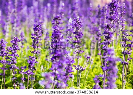 Lavender flower close up in a field