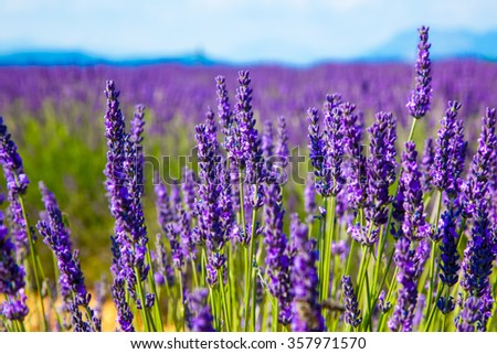 Lavender flower close up in a field in Provence France against a blue sky background. - stock photo