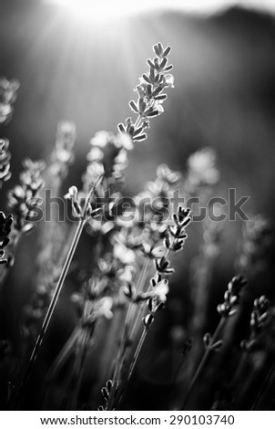 lavender flower field - stock photo