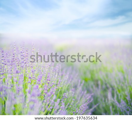 Lavender flower field, fresh purple aromatic flowers for natural background. - stock photo