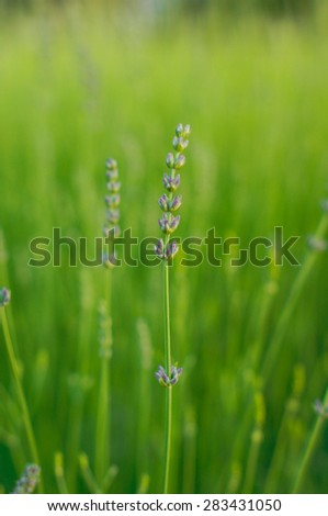 Lavender flower field, fresh purple aromatic wildflower, natural background, macro with soft focus - stock photo