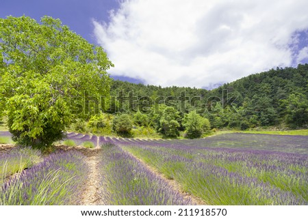 Lavender, flower field from Provence. France.  - stock photo