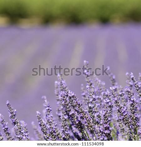 Lavender flower field. Provence. France. - stock photo