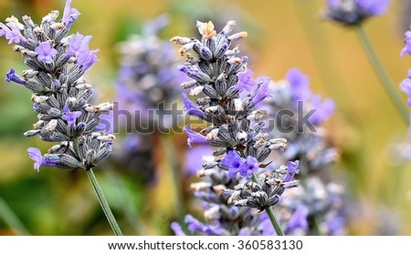 Lavender. Flower gardens in Tasmania. Photo taken at the historic Port Arthur Penal Colony. Australia's first penal colony.  - stock photo