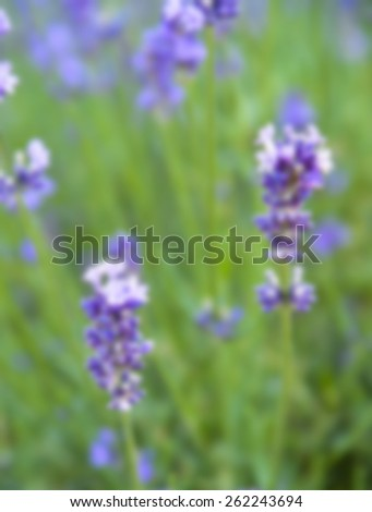 Lavender flower in blur style - stock photo