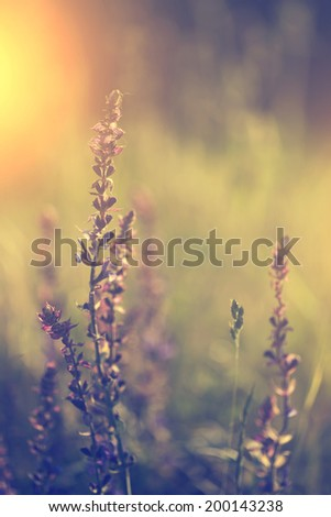 Lavender flower in sunset