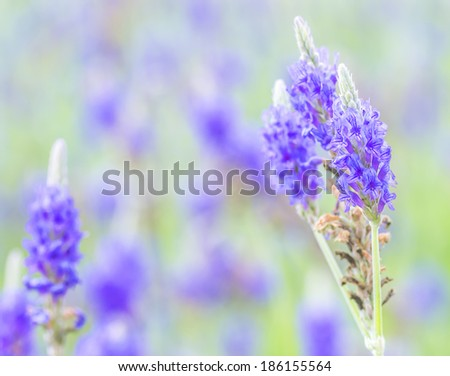 Lavender flower macro with bokeh background - stock photo
