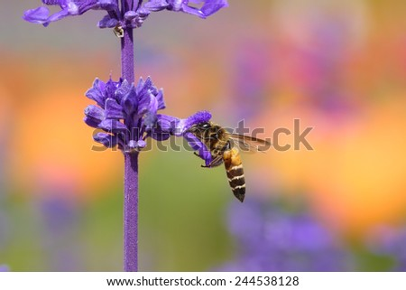 Lavender flower with bee in the garden - stock photo