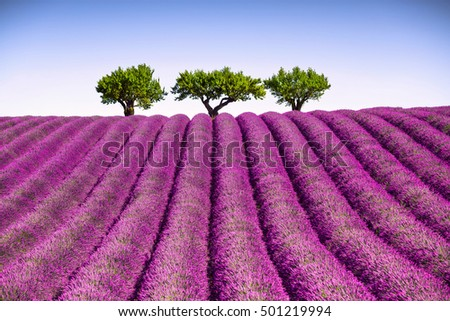 Lavender flowers blooming field and a trees uphill. Valensole, Provence, France, Europe.