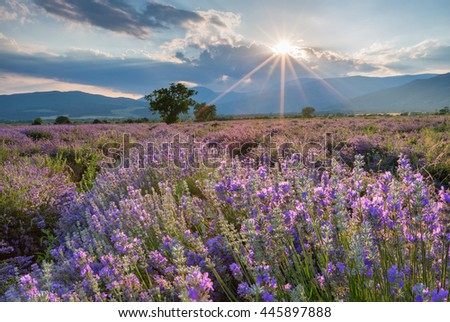 Lavender flowers blooming field on sunset