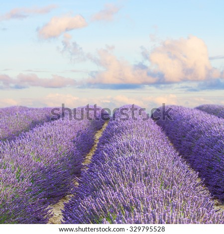 Lavender flowers blooming  field with summer blue and pink sunset sky, Provence, France - stock photo