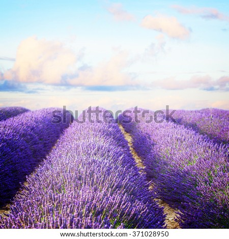 Lavender flowers blooming  field with summer blue and pink sunset sky, Provence, France, retro toned - stock photo