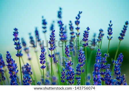 Lavender flowers blooming in a field - stock photo
