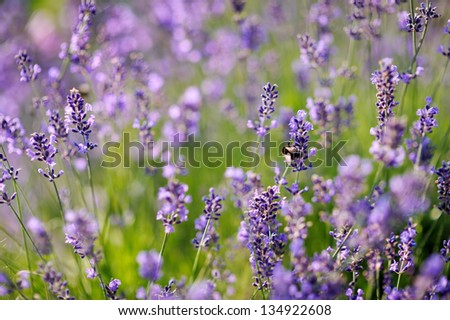 Lavender flowers blooming in a field at summer
