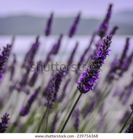 Lavender Flowers blooming in field. New Zealand - stock photo