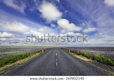 Lavender flowers by empty asphalt road in South Iceland - stock photo