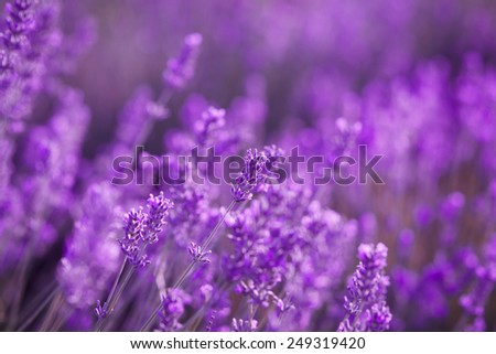 Lavender Flowers Field blossom lavender summer, selective focus - stock photo