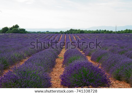 Lavender flowers field rows with summer sunset, Provence, France