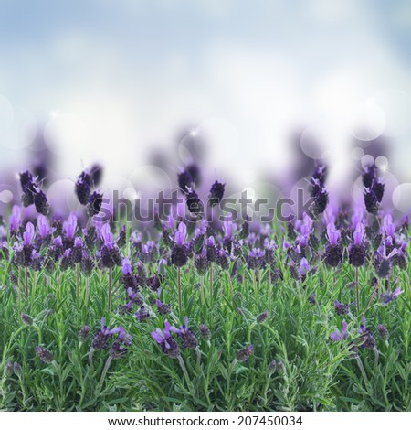 Lavender flowers field with soft blue  background - stock photo